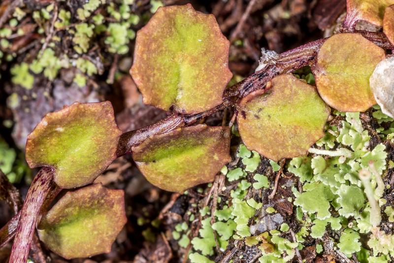 Pratia / pānakenake (Lobelia angulata). Marauinui Bay, Lake Waikaremoana, Te Urewera National Park.