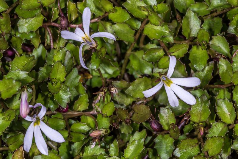 Pratia / pānakenake (Lobelia angulata). Dunedin Botanic Garden.