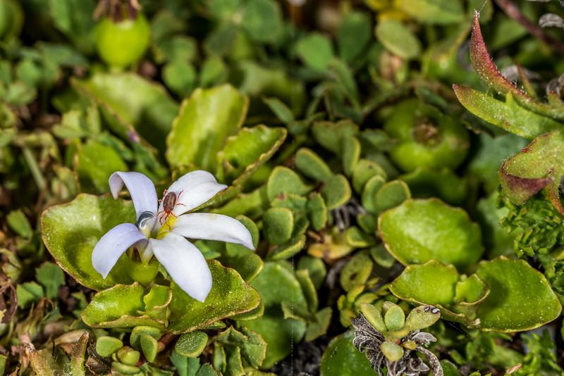 Sidewalk mite (Balaustium spp.) on pānakenake (Lobelia arenaria). Ohira Bay, Chatham Island.