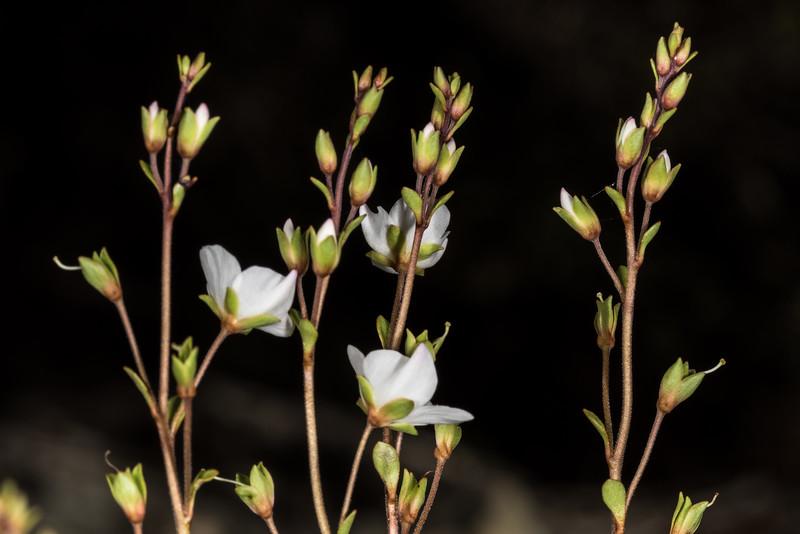 Lyall's speedwell (Veronica lyallii). Iris Burn, Kepler Track, Fiordland National Park.