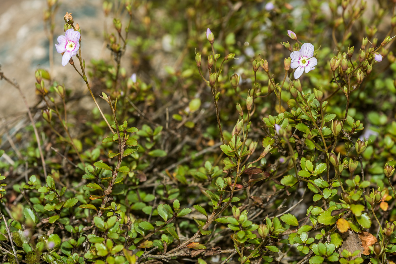 Lyall's speedwell (Veronica lyallii). Big River, Fiordland National Park.