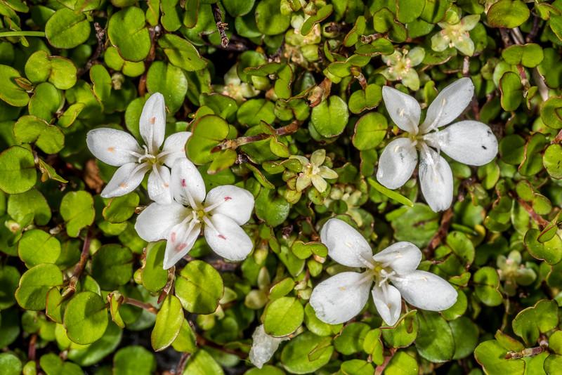 Montia sessiliflora flower among creeping muehlenbeckia / creeping pōhuehue (Muehlenbeckia axillaris) leaves. Gertrude Valley, Fiordland National Park.