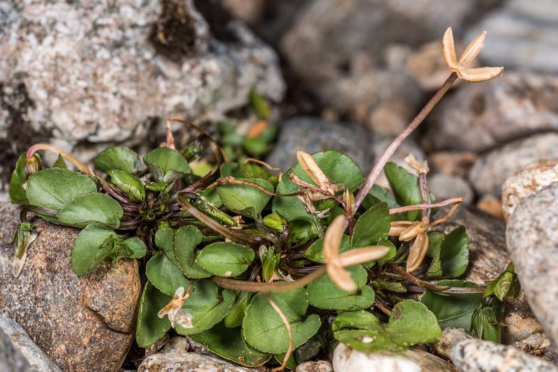 Mountain violet (Viola cunninghamii). Lake Poteriteri to Lake Mouat, Fiordland National Park.