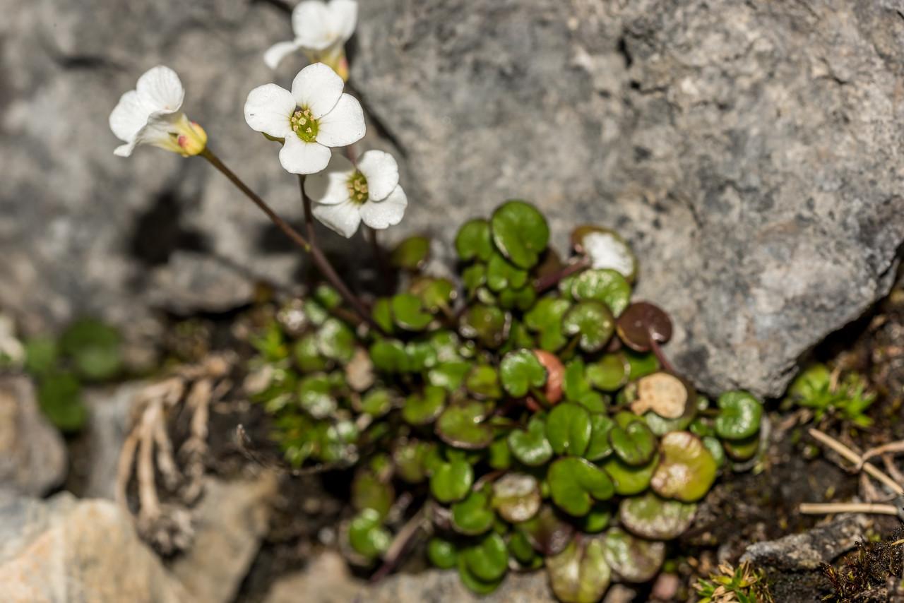 New Zealand bittercress (Cardamine spp.). The Twins, Arthur Range, Kahurangi National Park.