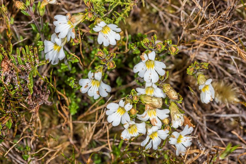 Eyebright (Euphrasia spp.). Mount Perry, Heaphy Track, Kahurangi National Park.