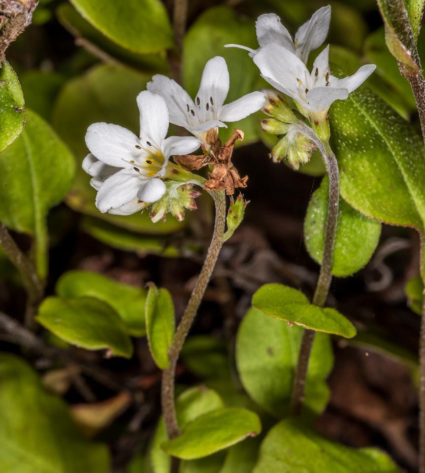 Forster's forget-me-not (Myosotis forsteri). Dunedin Botanic Garden.