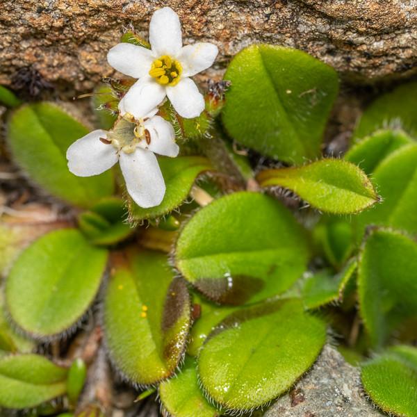 Myosotis lyallii.<br /> Skippers Range High Point, Fiordland National Park.