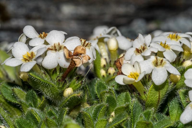 Forget-me-not (Myosotis lyallii). Ruth Stream head-basin, Mount Aspiring National Park.