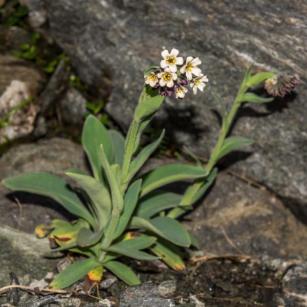 Bronze forget-me-not (Myosotis macrantha). Ruth Stream head basin, Mount Aspiring National Park.