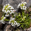 Pachycladon latisiliqua. The Twins, Arthur Range, Kahurangi National Park.