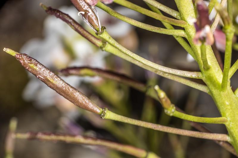 Pachycladon latisiliqua. Mount Arthur, Kahurangi National Park.