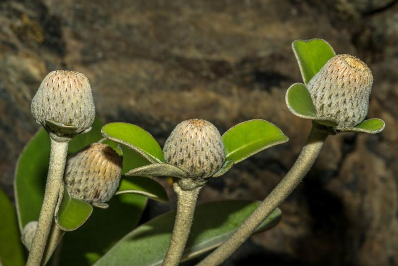 Marlborough rock daisy (Pachystegia insignis). Mount Fyffe, Kaikoura