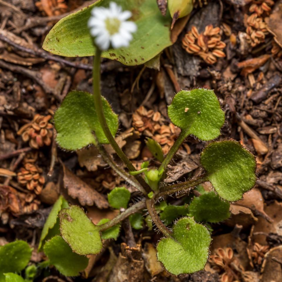 Parani (Lagenophora strangulata). McLennan Hut, Catlins Forest.