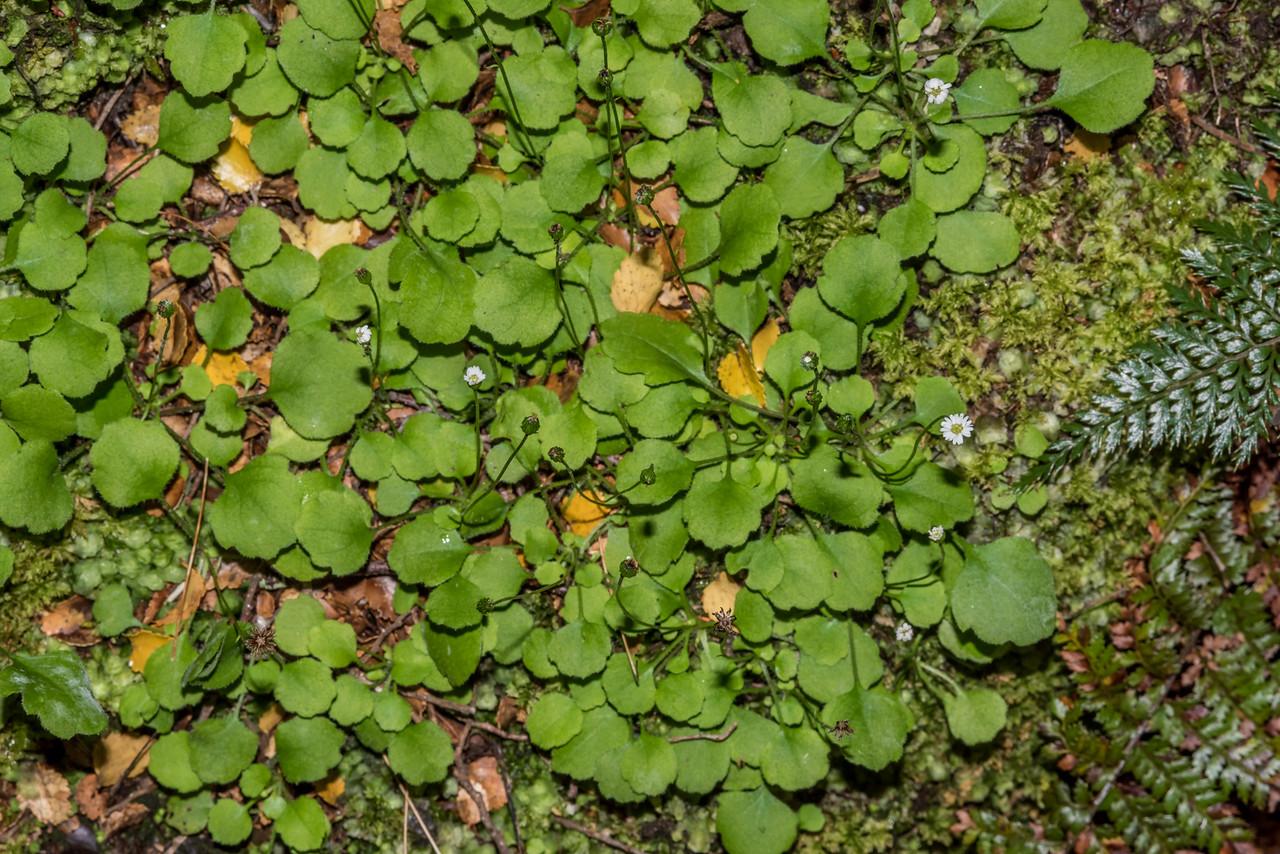 Parani (Lagenophora strangulata). Matukituki River West Branch opposite Raspberry Creek.