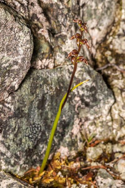 Leek orchid (Prasophyllum colensoi). Skippers Range, Fiordland National Park.
