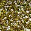 Pratia / pānakenake (Lobelia angulata). Thisbe Stream, Catlins Forest.