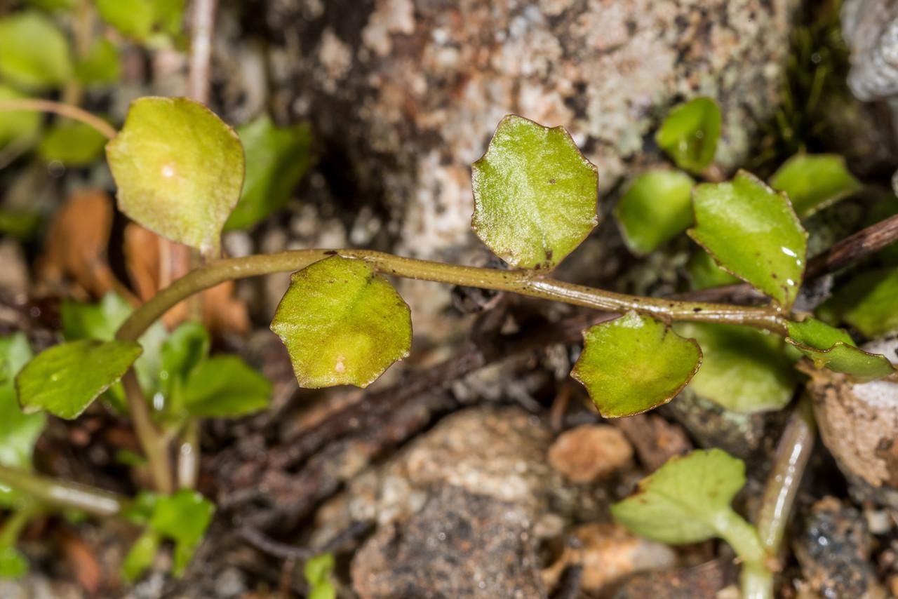 Pratia / pānakenake (Lobelia angulata). Seaforth River, Fiordland National Park.