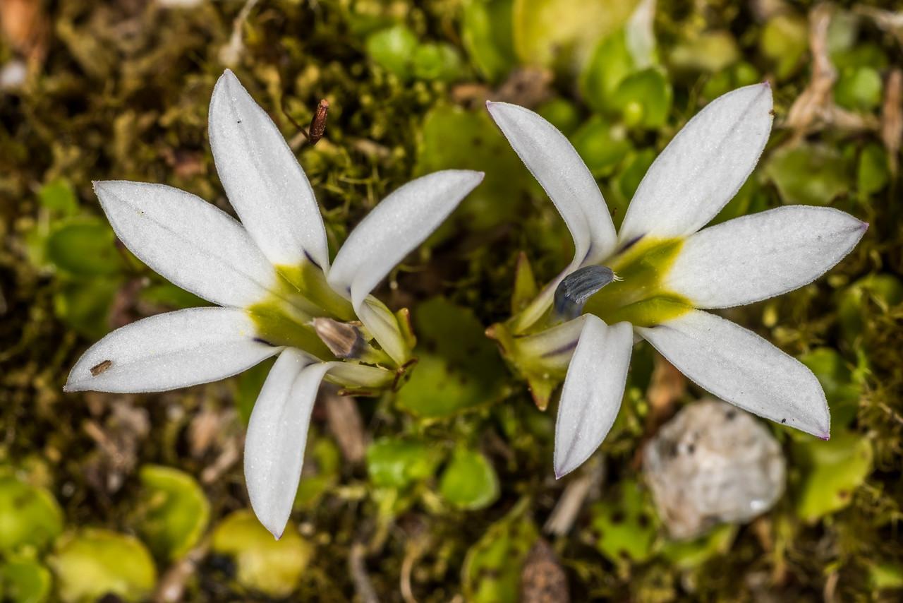 Pratia / pānakenake (Lobelia angulata). Iris Burn, Kepler Track, Fiordland National Park.