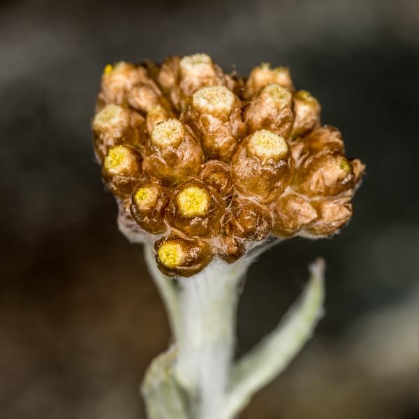 Pseudognaphalium luteoalbum. Iris Burn, Kepler Track, Fiordland National Park.