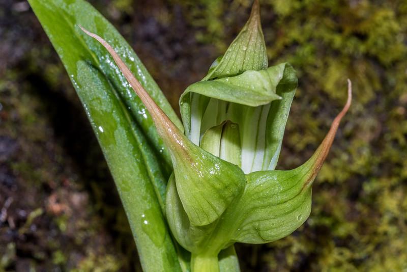 Southern greenhood orchid / tutukiwi (Pterostylis australis). Camerons Creek gorge, Mount Aspiring National Park.