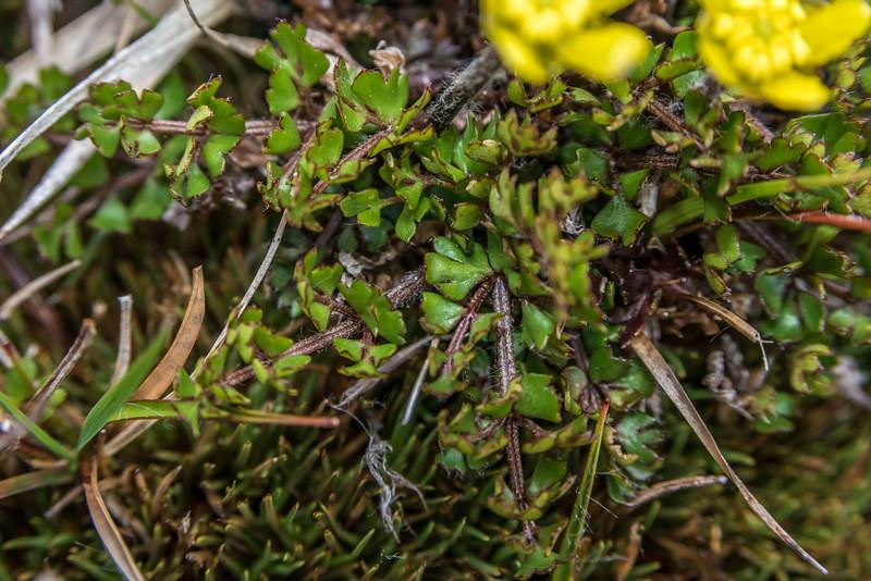 Ranunculus gracilipes leaves. Bush Stream, Canterbury.