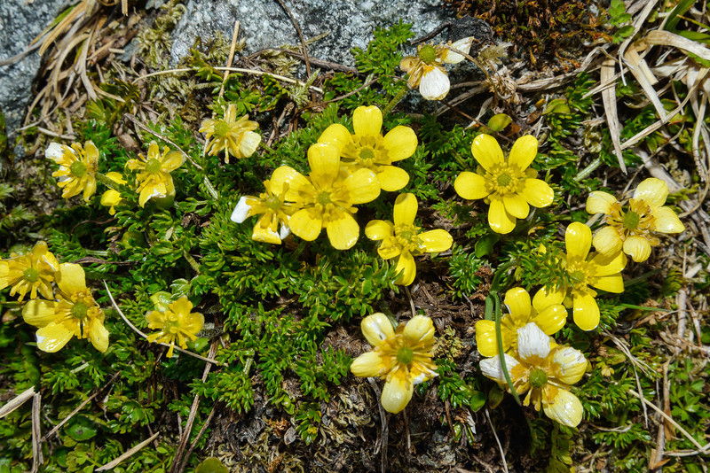 Ranunculus gracilipes. Key Dome, Mount Aspiring NP