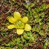 Ranunculus gracilipes. Ben Nevis, Hector Mountains.