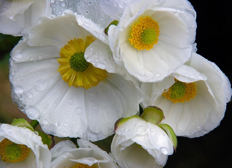 Mount Cook Lily (Ranunculus lyallii). Lake Adelaide, Fiordland