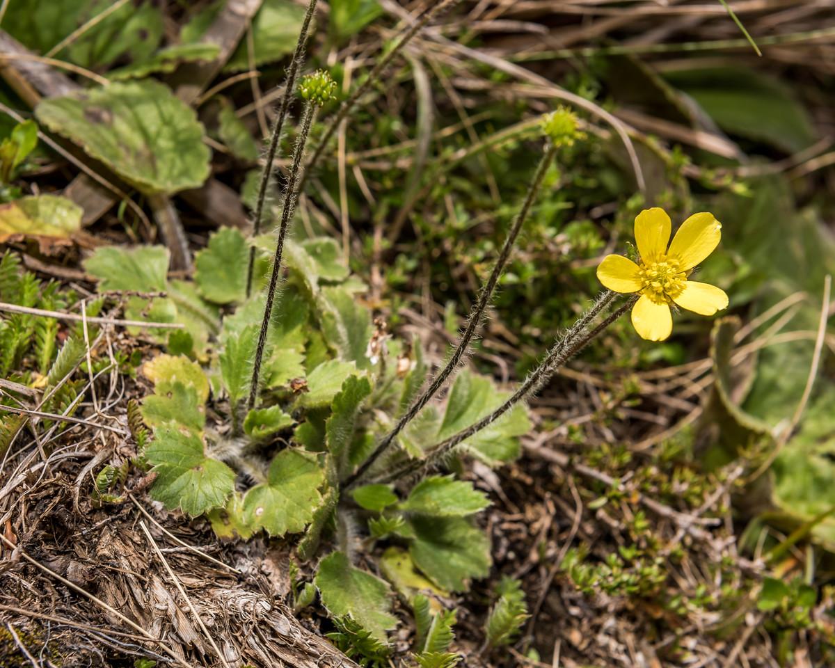 Grassland buttercup (Ranunculus multiscapus). Mount Arthur, Kahurangi National Park.