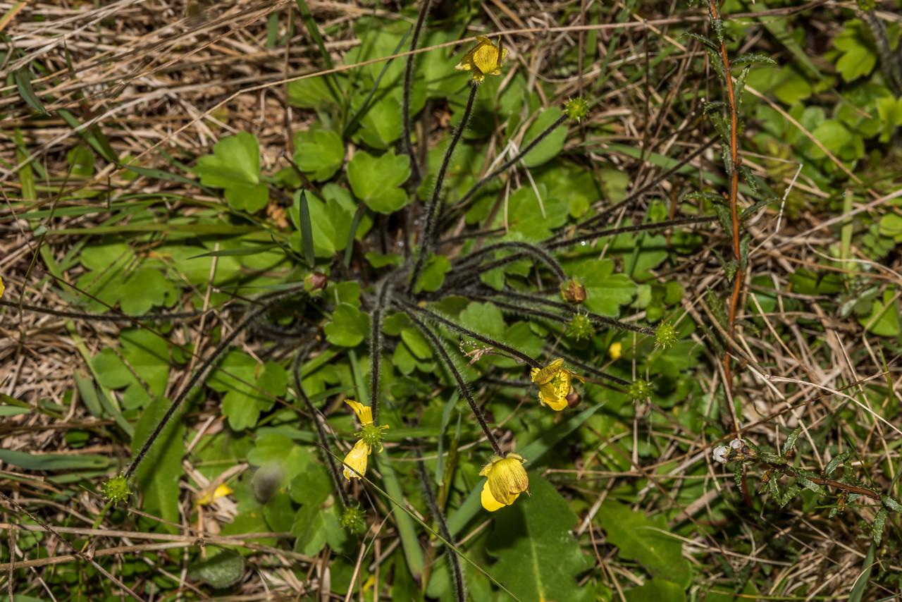 Grassland buttercup (Ranunculus multiscapus). Daleys Flat, Dart River