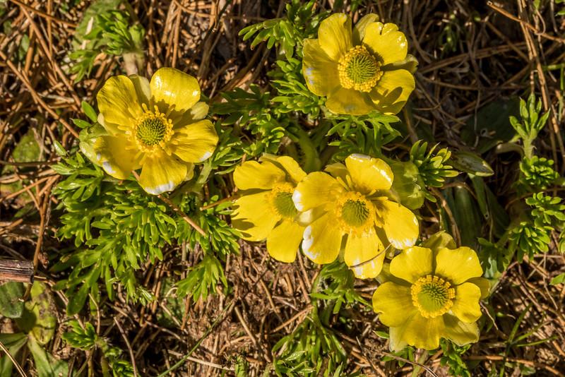 Silky alpine buttercup (Ranunculus sericophyllus). Barrier Range, Dart River / Margaret Burn