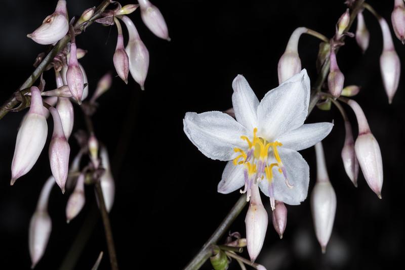 Rock lily / rengarenga (Arthropodium cirratum). Dunedin Botanic Garden.