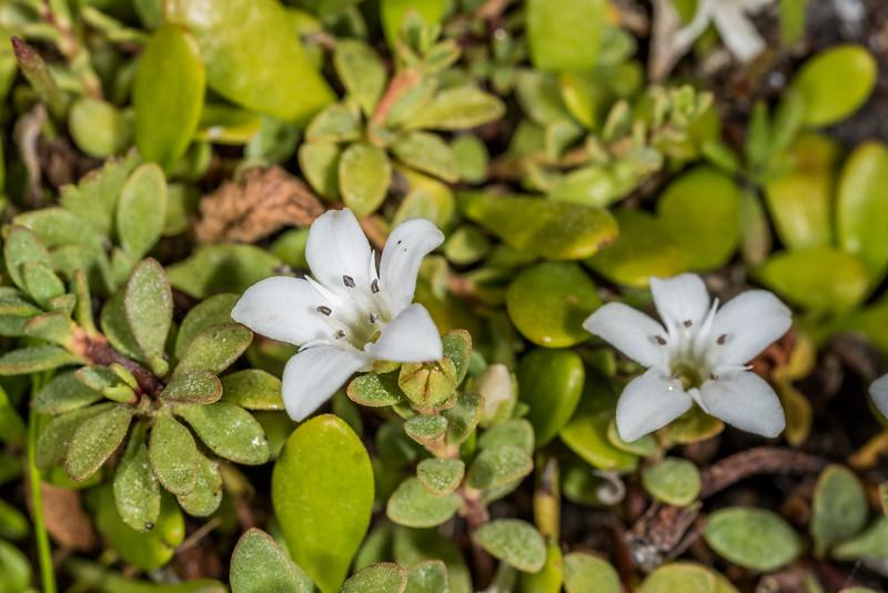 Sea primrose / māakoako (Samolus repens). Ohira Bay, Chatham Island.