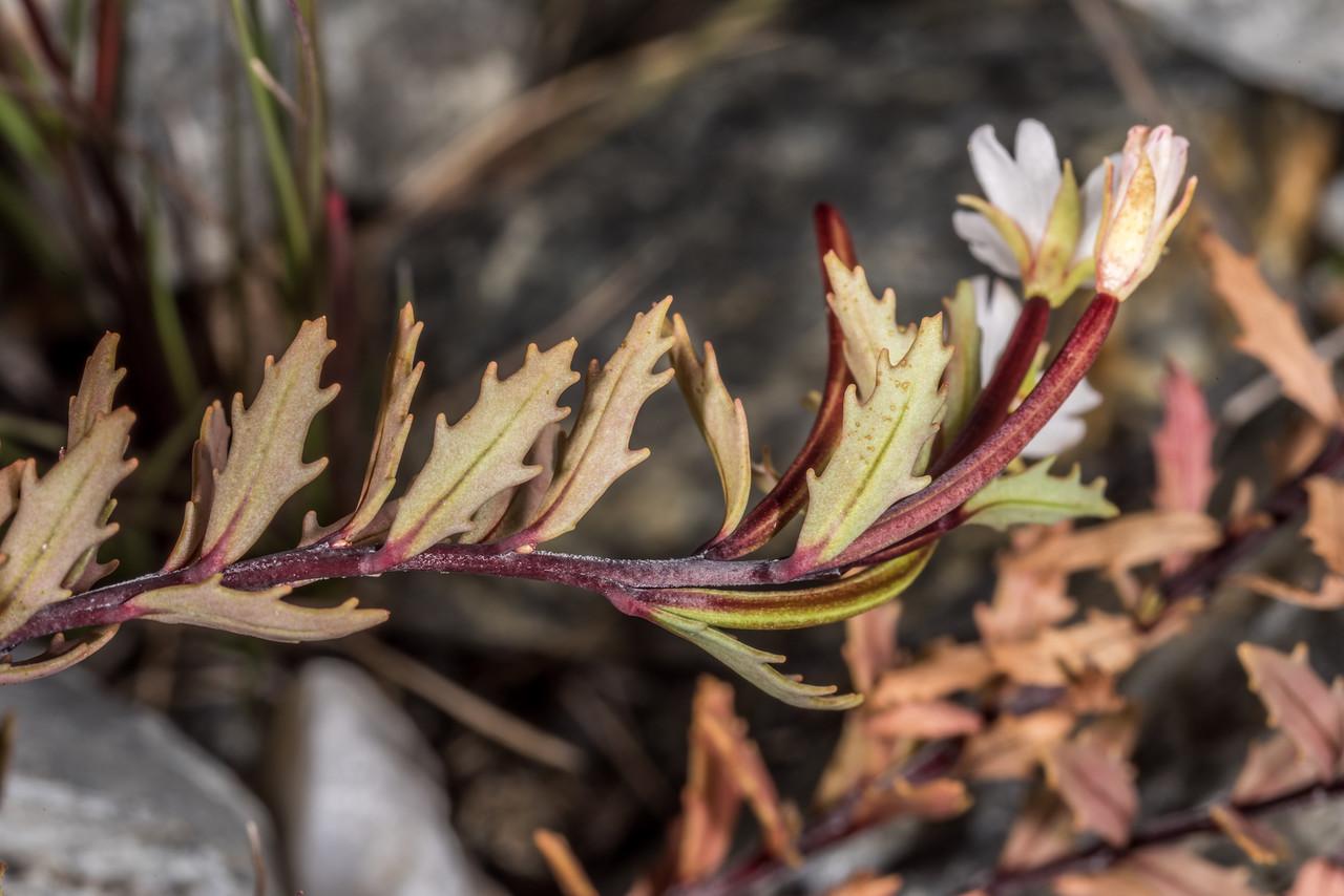 Scree willowherb (Epilobium pycnostachyum). Otekaieke River, St Marys Range.