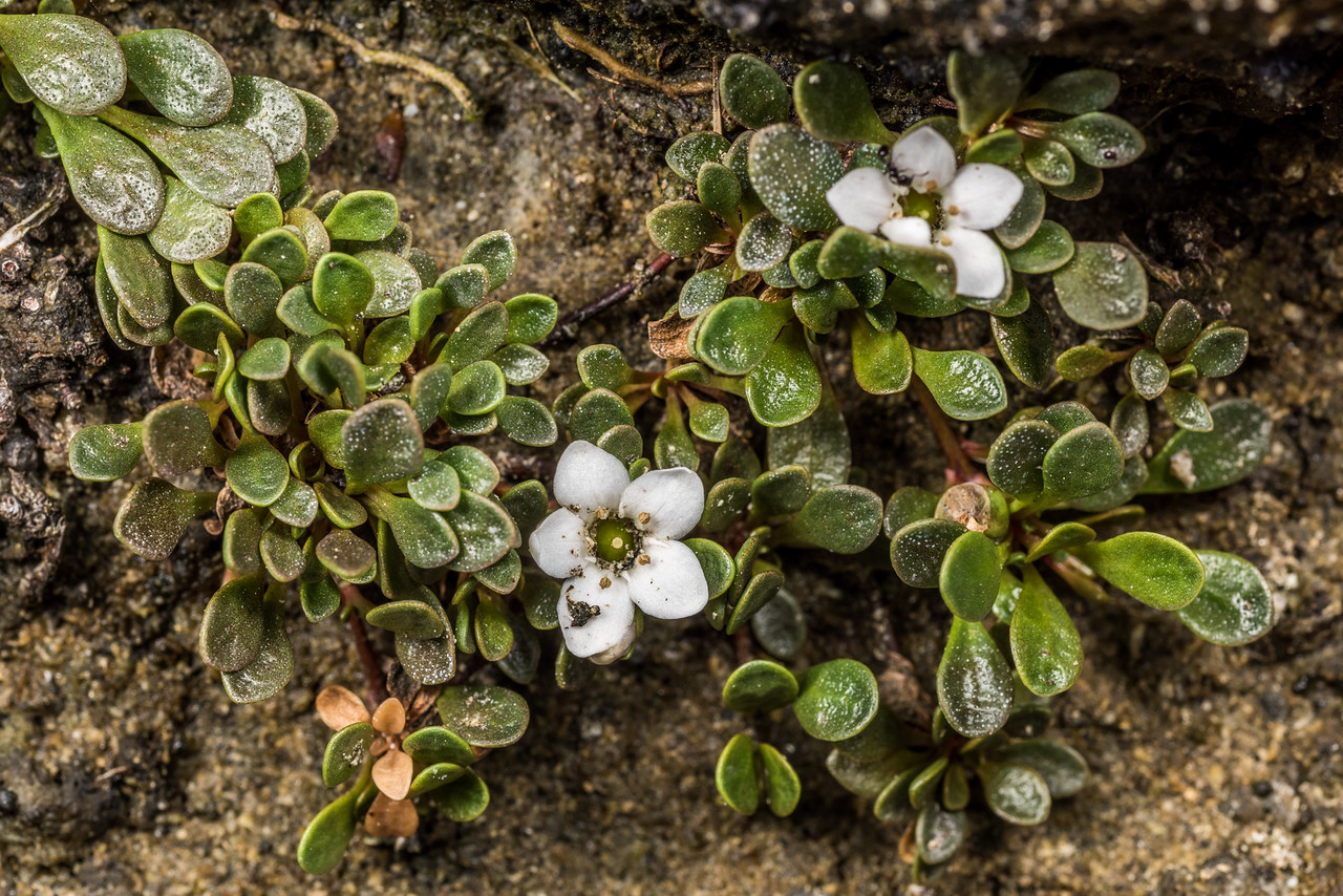 Sea primrose (Samolus repens var. repens). Port Craig, Fiordland National Park.