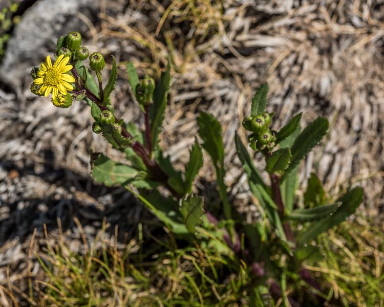 Groundsel (Senecio glaucophyllus ssp. glaucophyllus). Mount Arthur, Kahurangi National Park.