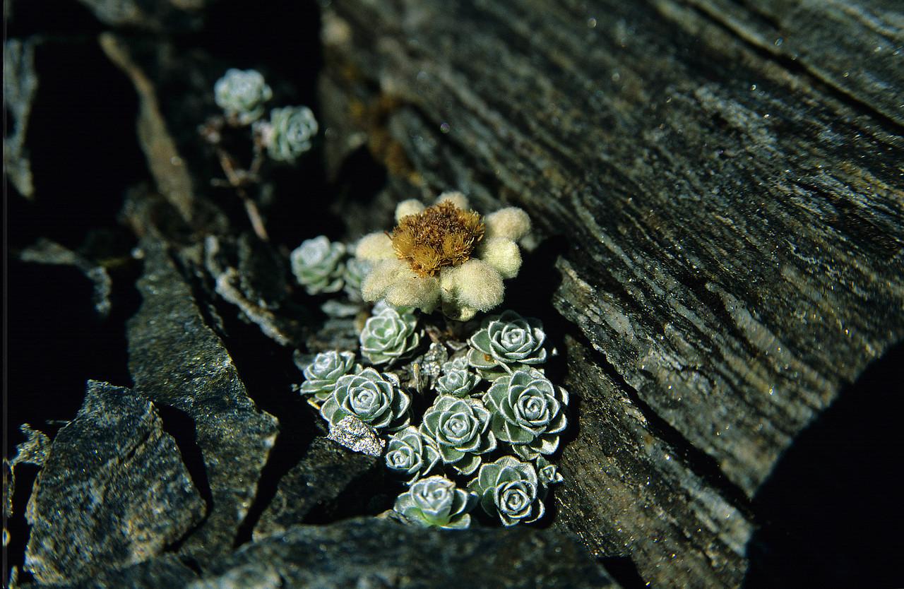 South Island edelweiss (Leucogenes grandiceps). Sisyphus Peak, Mount Aspiring NP