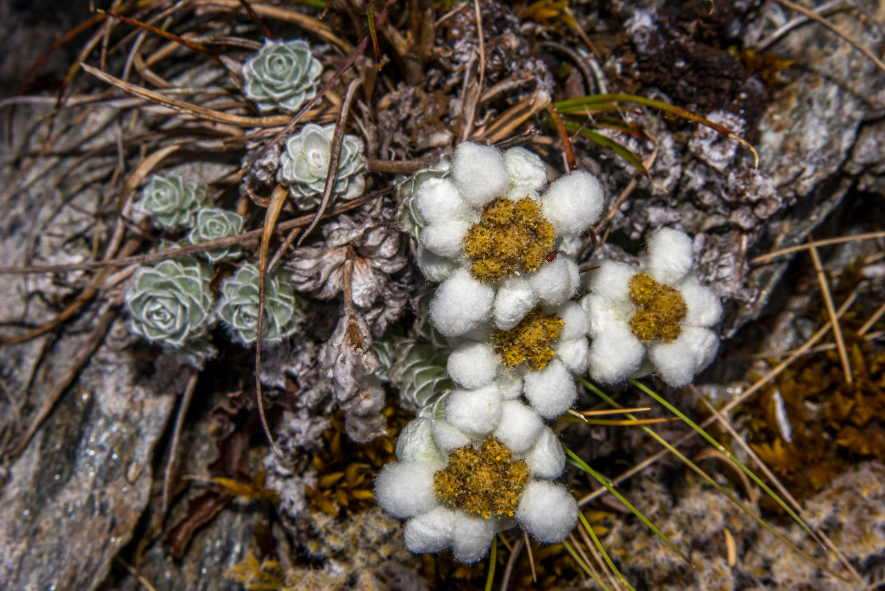South Island edelweiss (Leucogenes grandiceps). Rough Ridge, Matukituki River West Branch