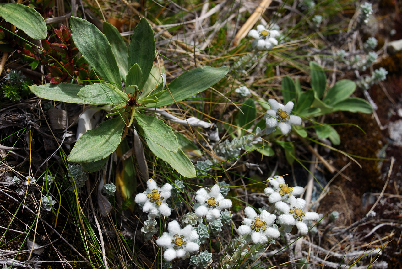 South Island edelweiss (Leucogenes grandiceps). Canyon Creek, Ahuriri