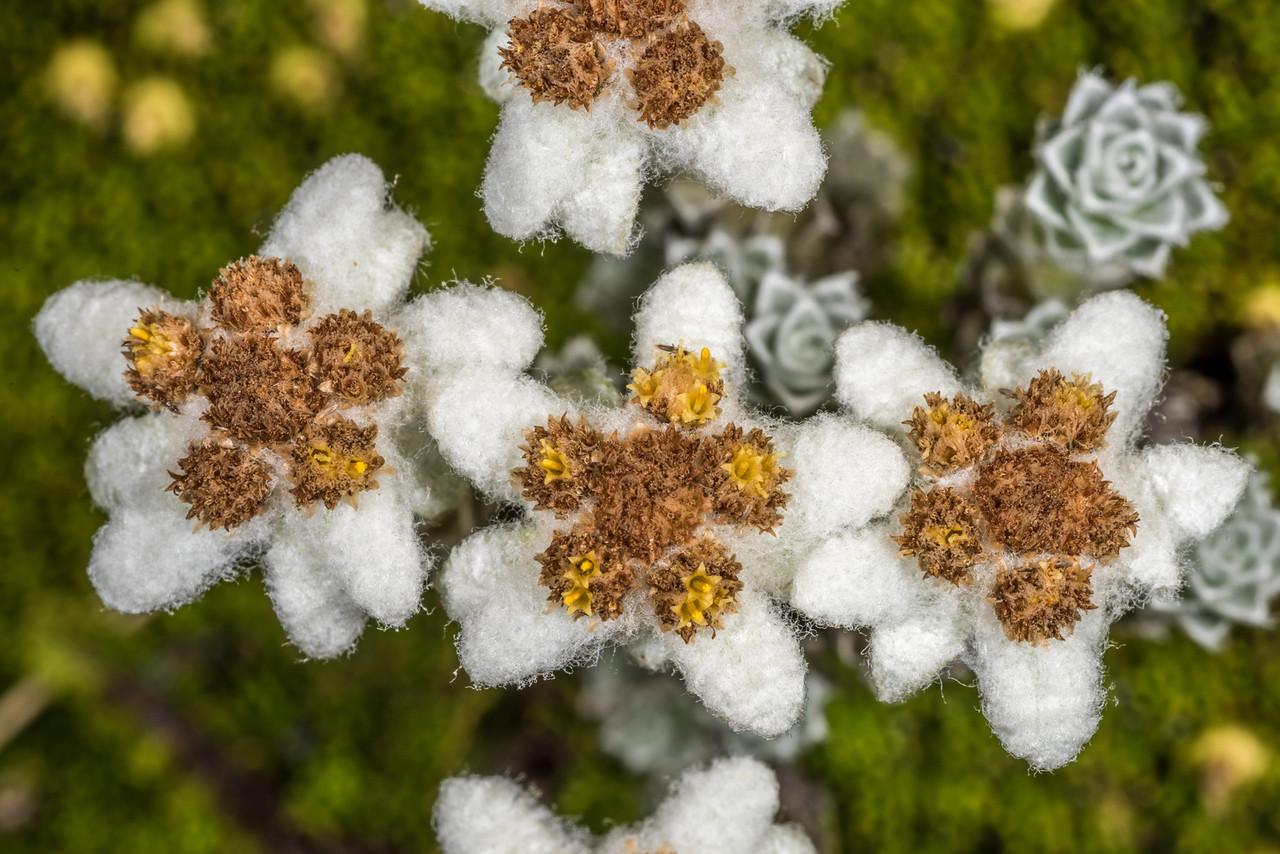 South Island edelweiss (Leucogenes grandiceps). Mount Domett, St Marys Range.