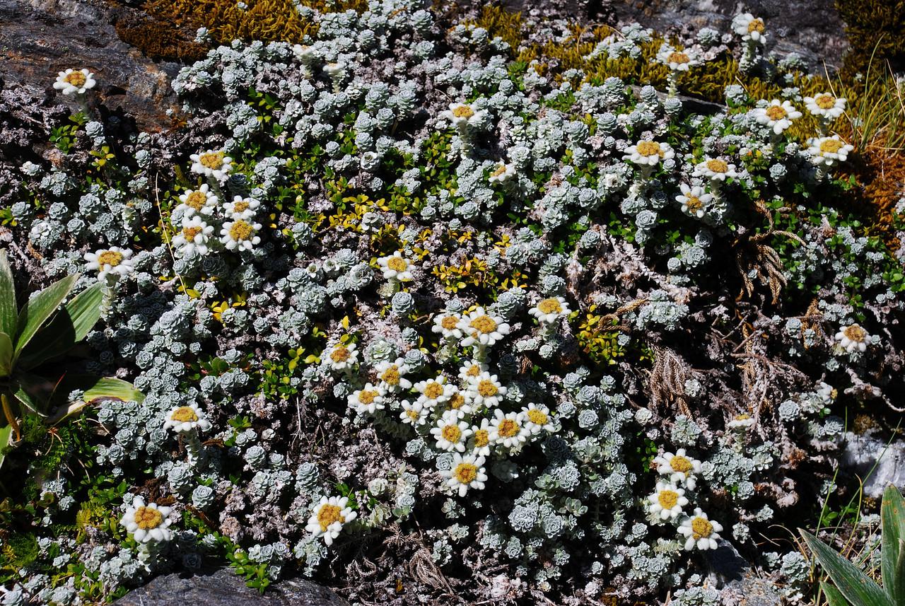 South Island edelweiss (Leucogenes grandiceps), Whitbourn River.
