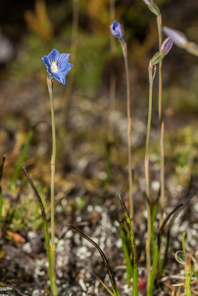 Swamp sun orchid (Thelymitra cyanea) on the rocky knolls below the outlet of Lake Monk, Fiordland National Park.