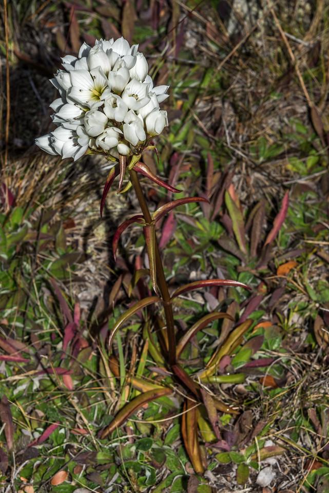 Tall gentian (Gentianella corymbifera). Freehold Creek, Ohau.