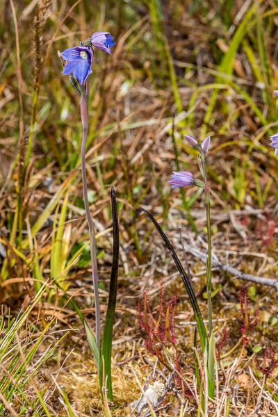 Swamp sun orchid (Thelymitra cyanea). Rangaika Scenic Reserve, Chatham Island.