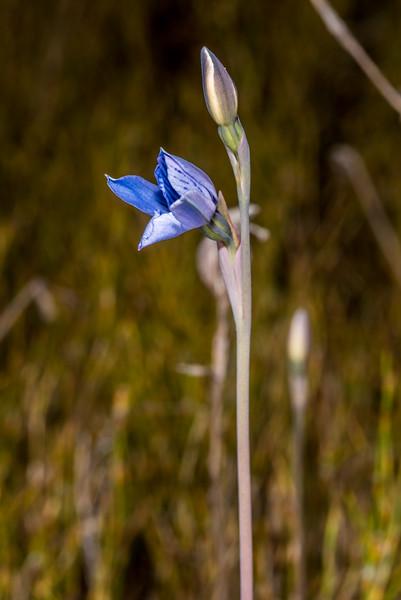 Swamp sun orchid (Thelymitra cyanea). Amoeboid Mire, Kepler Track, Fiordland National Park.