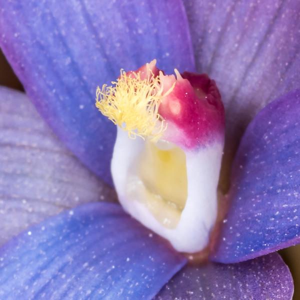 Sun orchid (Thelymitra formosa). Gouland Downs, Kahurangi National Park.