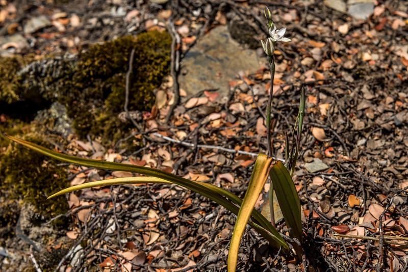 White sun orchid (Thelymitra longifolia). Sawyer Burn Track, Lake Hawea.
