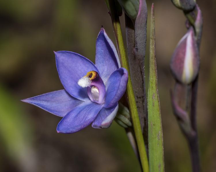 Sun orchid (Thelymitra pauciflora). Sawyer Burn Track, Lake Hawea.