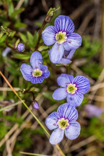 Veronica linifolia. Ellis Basin, Arthur Range, Kahurangi National Park.