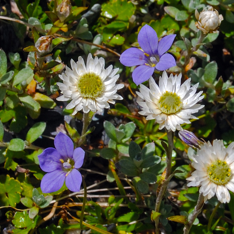 Everlasting daisy (Anaphalioides bellidioides) and violet harebell (Wahlenbergia violacea) on the slopes of Pioneer Peak, Douglas River